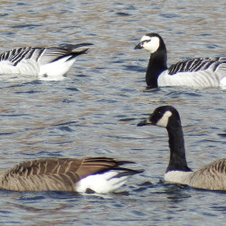 Barnacle, snow, white-fronted geese flock to Yarmouth field