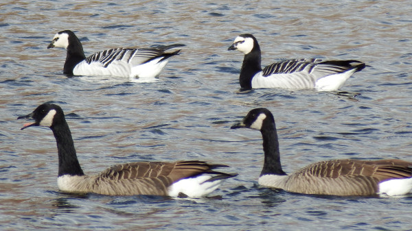 difference between barnacle goose and canada goose