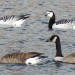 Two barnacle geese (rear) have been spotted at Collins Pond in Caribou. Barnacle geese typically winter in Ireland, Scotland, Germany and the Netherlands, but sometimes they end up in Maine. Bob Duchesne.