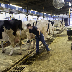 Megan Demers shovels fresh bedding under cows who have been milked on Friday at the J.F. Witter Teaching & Research Center in Old Town.