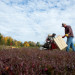 Stanley Luce uses a mechanical picker to harvest cranberries using the dry method at Highland Farms in Troy. Fresh cranberries are harvested using this method rather than a wet harvest. After Stanley harvests the cranberries, his wife Jennifer Wixson sorts the berries to remove any that may have frost, bug or picking damage.