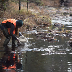 University of Maine at Machias student Desiree Cettina releases salmon parr into Beaver Dam Stream, a tributary of the East Machias River, in Crawford on Tuesday.