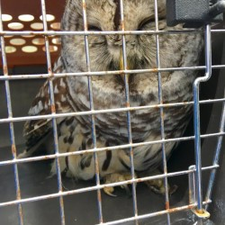 Brunswick police on Monday rescued an injured barred owl from the side of Route 24. The owl was taken to Avian Haven Wild Bird Rehabilitation Center later in the day.