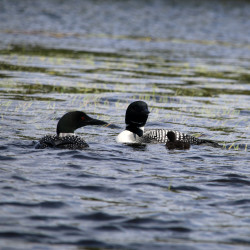 Not all loons are common in Maine; some are snaky