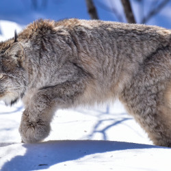 A legal battle over whether enough is being done in Maine to protect the Canada lynx from being killed or injured by trappers is in the hands of a federal judge after a hearing Thursday that drew about 30 people to the Margaret Chase Smith Federal Building.