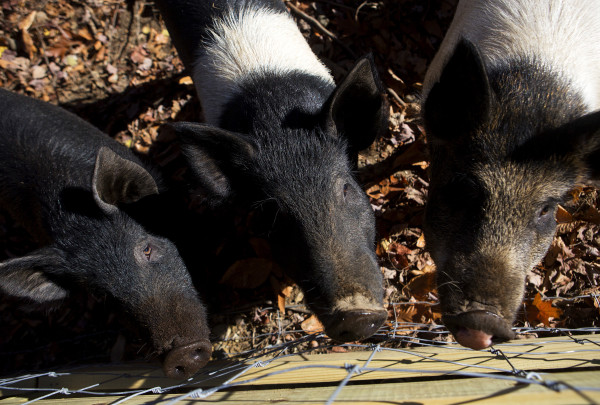 Pigs make their way to the fence line of a a large wooded area at Peace Ridge in Brooks Tuesday. The farm animal sanctuary has a new, 800-acre home in Brooks where more pigs, chickens, goats and other rescued animals can live out their lives more freely.