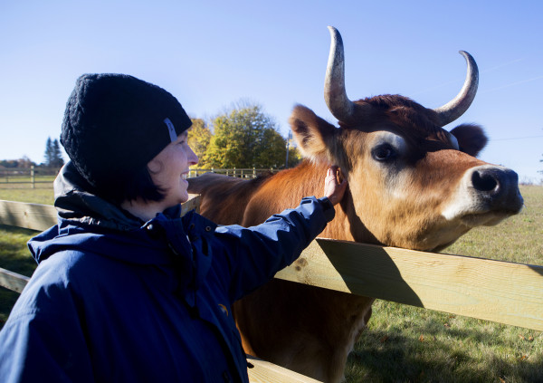 Daniella Tessier gives a pet to a rescued veal cow in one of the large pastures at Peace Ridge in Brooks Tuesday. The farm animal sanctuary has a new, 800-acre home in Brooks where more pigs, chickens, goats and other rescued animals can live out their lives more freely.