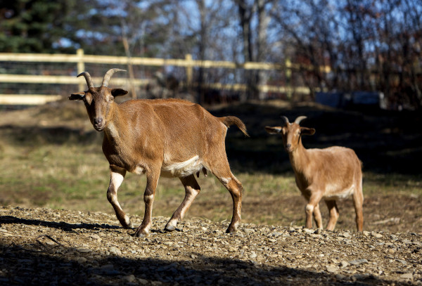 Goats wonder a large open pasture at Peace Ridge in Brooks Tuesday. The farm animal sanctuary has a new, 800-acre home in Brooks where more pigs, chickens, goats and other rescued animals can live out their lives more freely.