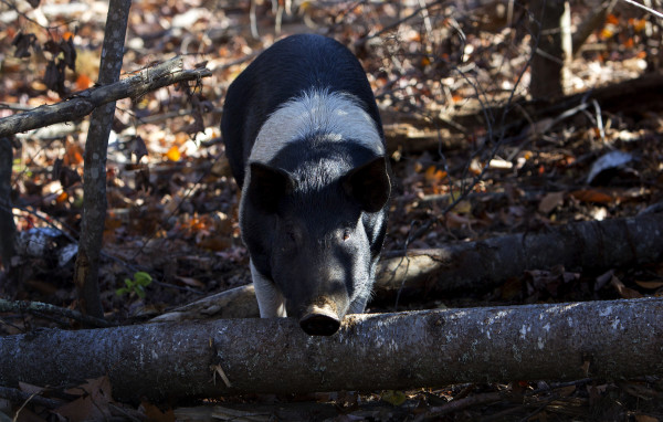 A pig wonders a large wooded area at Peace Ridge in Brooks Tuesday. The farm animal sanctuary has a new, 800-acre home in Brooks where more pigs, chickens, goats and other rescued animals can live out their lives more freely.