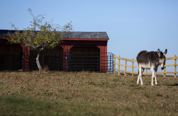 A donkey wonders a large open pasture at Peace Ridge in Brooks Tuesday. The farm animal sanctuary has a new, 800-acre home in Brooks where more pigs, chickens, goats and other rescued animals can live out their lives more freely.