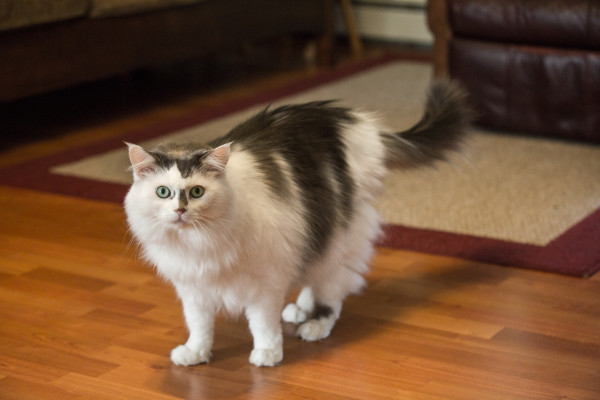 Brady, one of Kay Davis' rescue cats, walks around recently in Davis' Bangor home. The cat will have to be placed in a new home while Davis serves in the Peace Corps for the next two years.