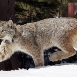 Wildlife officials probe lynx trapping death