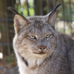 A Canada lynx sits in an enclosure in October 2013 at the Maine Wildlife Park in Gray.