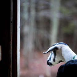 A goat peers out of the barn on Dec. 1 at Copper Tail Farm in Waldoboro. Christelle and Jon McKee of Copper Tail Farm participated in the Maine Farmland Trust program focusing on helping farmers and producers figure out how to expand their business and make adjustments necessary for tapping into the wholesale market.
