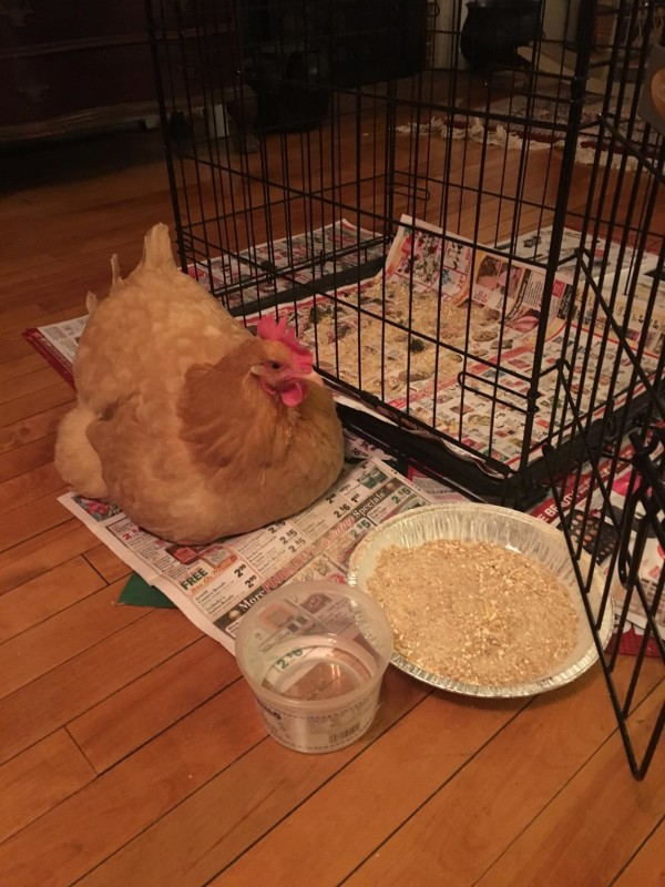 Goldie, a backyard chicken and family pet that  lives in Orono, was brought inside her owners' house to stay warm during last week's bitterly cold weather.