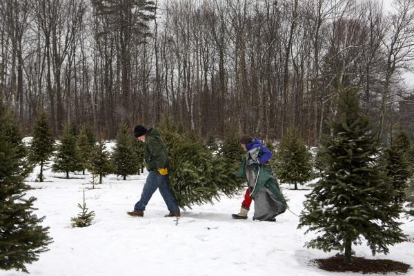 bittersweet end of the season on the christmas tree farm