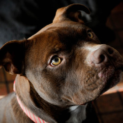 Phoenix, the pit bull puppy that was dragged behind a pickup truck in June of 2016, has been living a happy life on a farm after being adopted by Colby Walker. Walker has other rescue animals on her farm that Phoenix is fitting in well with, including the horses. Because of the impact of the dragging when he was 6 months old, Phoenix once had no paw pads and his feet were fully bandaged. He now has little visible signs of injury left from the incident. Only a very small, hard to see scar on the side of one paw.