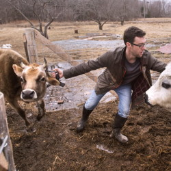 Ethan Bartlett pushes Bo out of the way as he is pulling on the reluctant Clementine to get back in the paddock after milking at White Bull Farm in Pittsfield, March 10, 2016.