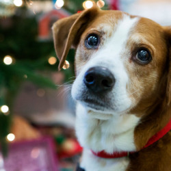 Tucker, a 15-year-old beagle-Lab mix at Bangor Humane Society, is available for adoption. Tucker's adoption fee is $50.