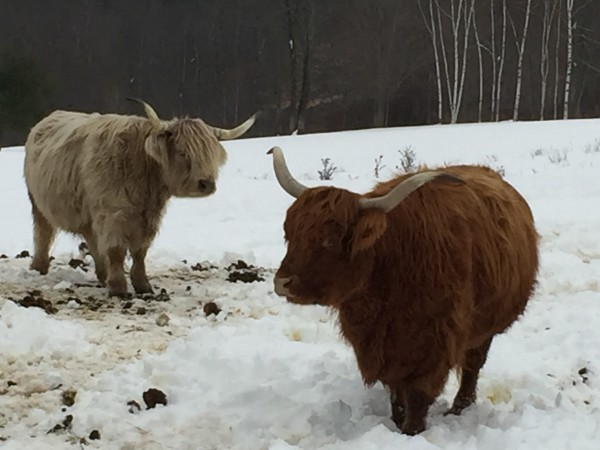 Scottish Highland cattle, which are raised on the farm at Sabbathday Lake Shaker Village in New Gloucester, can be seen Tuesday.