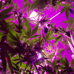 Marijuana legalization goes into effect on Jan. 30. But lawmakers should pass a moratorium on commercial marijuana operations to ensure the health and safety of Mainers is protected.