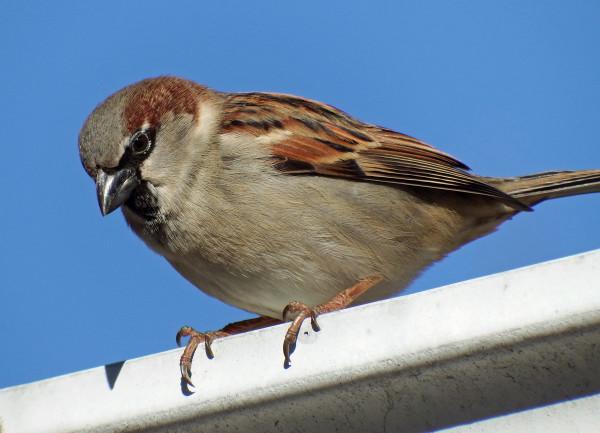 Wild Ideas: El silencioso pero omnipresente ave del invierno - Página 109639 - Arturo
