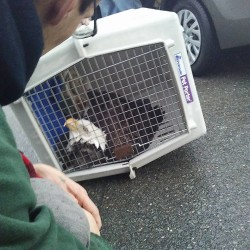 The sick bald eagle that was found by James Morang, his girlfriend, Aleesha Cooper, and Jeff Joseph sits inside a crate on Thursday in Bangor. The eagle was picked up by state game wardens and taken to Avian Haven in Freedom.