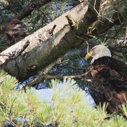 "An eaglet perches in a tree in Bangor while an adult eagle keeps an eye out. The nest is occupied by ""Bangor Mom,"" an eagle that fell ill in 2014."