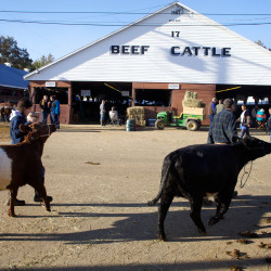 Livestock such as these cattle can be seen at the Fryeburg Fair in Fryeburg in this October 2014 file photo.