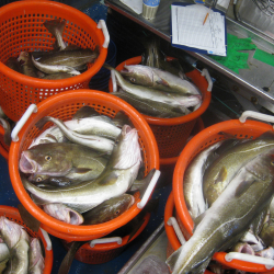 Atlantic cod that were caught as part of a research survey can be seen in this 2014 file photo.