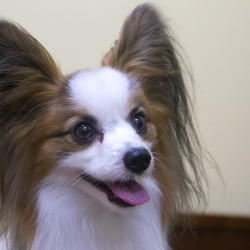 Rebecca Henderson and her papillon, Little Boy, will be competing in the Westminster dog show.