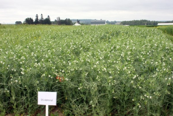 A trial crop of field peas growing in the summer of 2013 at the Aroostook Research Farm in Presque Isle.