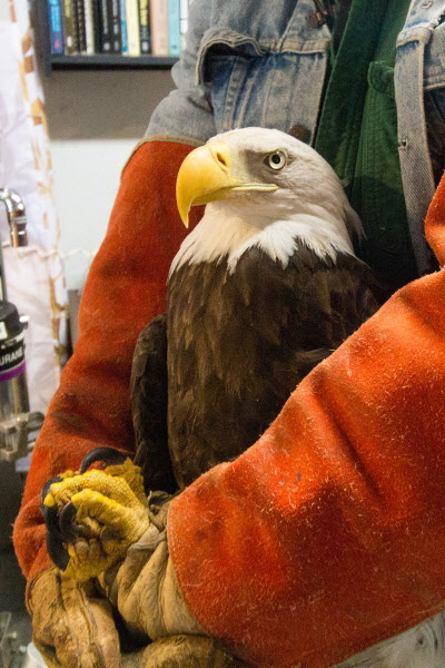 Marc Payne, a raptor rehabilitator, holds a bald eagle to get its blood drawn to test for lead poisoning on Jan. 4, at Avian Haven, a bird rehabilitation center in Freedom. Payne is the co-founder of Avian Haven, and the bald eagle was rescued in Dixmont in November and transferred to the facility.