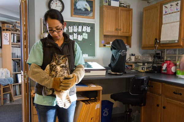 Kim Chavez, an employee at Avian Haven, holds a great horned owl on Jan. 4, at Avian Haven, a bird rehabilitation center in Freedom. The owl is being brought into the center's lab for an annual checkup. It is one of the few birds that are permanent residents at the center because it is deemed non-releasable, meaning it would not survive in the wild. In this case, the owl has a broken wing that can't be fixed. The owl works for its stay, acting as a foster parent to young owls admitted to the center.