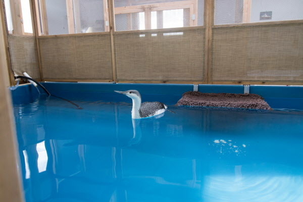 A red-throated loon swims in a heated pool on Jan. 4, at Avian Haven, a bird rehabilitation center in Freedom.