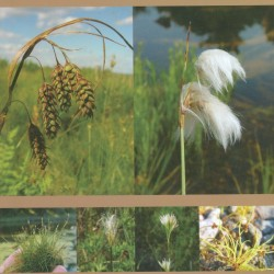 "Matt Arsenault is the lead author of ""Sedges of Maine: A Field Guide to Cyperaceae"" published in 2013 by the University of Maine Press."