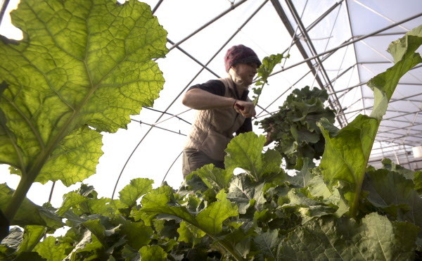Clara Coleman harvests kale on Tuesday in the main high-tunnel at Four Season Farm in Brooksville. The farm produces fresh vegetables year-round.