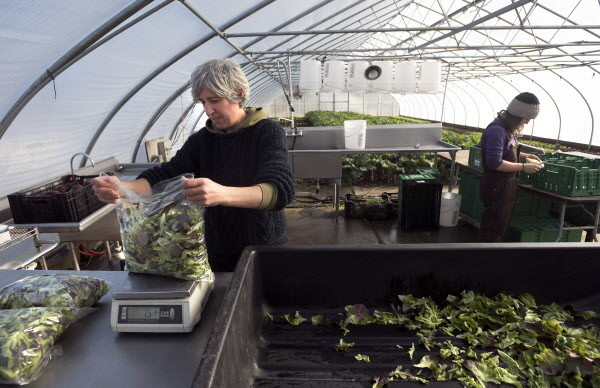 Sarah Loftus (left) and Rose Zoller wash and pack vegetables harvested in the main high-tunnel hoop house on Tuesday at Four Season Farm in Brooksville.