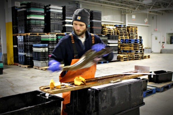 Jay Turnure, a contract field biologist for the National Oceanic and Atmospheric Administration, prepares to measure and examine a cod that will be sold at the Portland Fish Exchange.