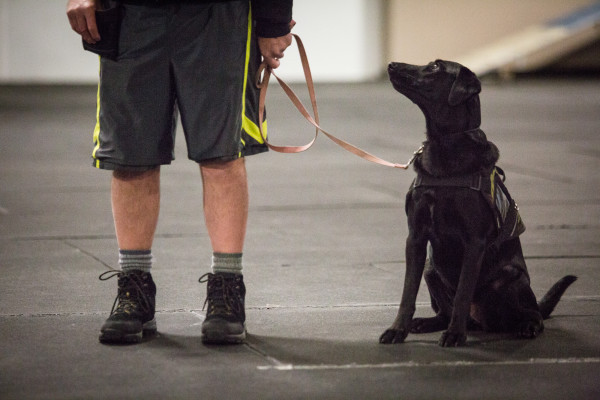 Shadow, a therapy dog in her 12th week of training, looks up at her owner, Bob Laidlaw, during a class last week at North Edge K-9 on Bishop Street in Portland. Laidlaw is a Vietnam combat veteran who suffers from post-traumatic stress disorder, and Shadow is learning to help him with his condition.