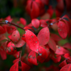 A burning bush turns prematurely red in Illinois, on September 21, 2012.