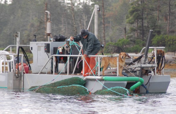 Tenants Harbor fisherman and seaweed harvester Hale Miller ties large floating bags of rockweed to his barge while harvesting off the Muscle Ridge Islands in July 2016.