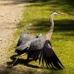 Cornelia the heron is released into the wild.