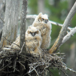Baby great horned owls sit in a nest. The species is found throughout North America right up to the tree line in Canada, and down through much of South America all the way to Argentina. While mammals are the owls' top prey, and birds are number two, owls of the desert dine on scorpions and consume many reptiles and snakes.