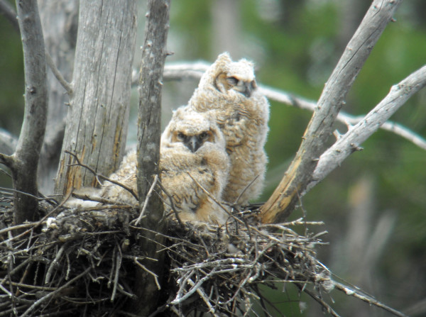 Dont Underestimate The Ferocity Of The Great Horned Owl Outdoors
