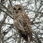 "Barred owls are famous for the phrase: ""Who cooks for you? Who cooks for you all?"""