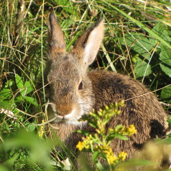 The New England cottontail rabbit is one of many shrub-land dependent species that influenced the creation of the new Great Thicket National Wildlife Refuge, approved in October. Plans for the refuge include conserving land in six northeast states, including Maine, where the New England cottontail rabbit is listed as an endangered species.