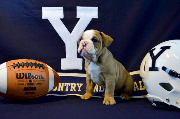 Yale University mascot Handsome Dan XVIII is a product of Wicked Good Bulldogges in Bristol.