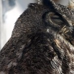 Avian Haven said they removed a dozen quills while treating the owl.