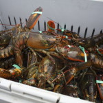 Lobster sit a crate at the Stonington Lobster Co-op dock in 2014. State officials say the value of all lobster landed in Maine in 2016 increased by more than $30 million from 2015, hitting a record total of $533 million.